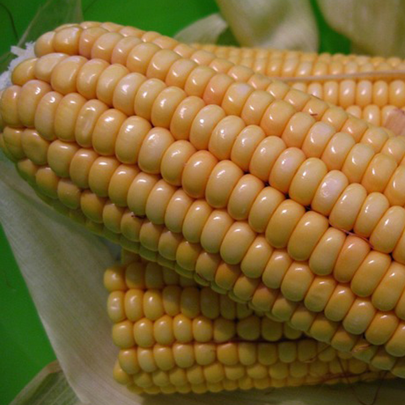 Hungary continues to maintain its leading position in the field of sweet corn in the European market